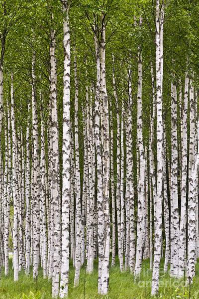 Photograph - The Birch Wood by Heiko Koehrer-Wagner