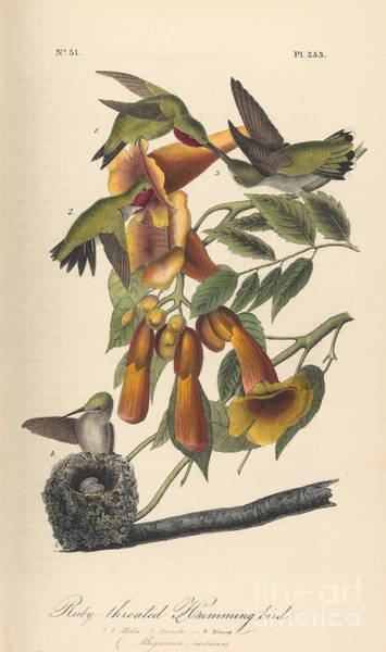 Drawing - The Birds Of America by Celestial Images