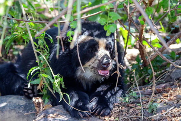 Carnivora Photograph - The Black Spectacled Bear Is The Only by Mallorie Ostrowitz