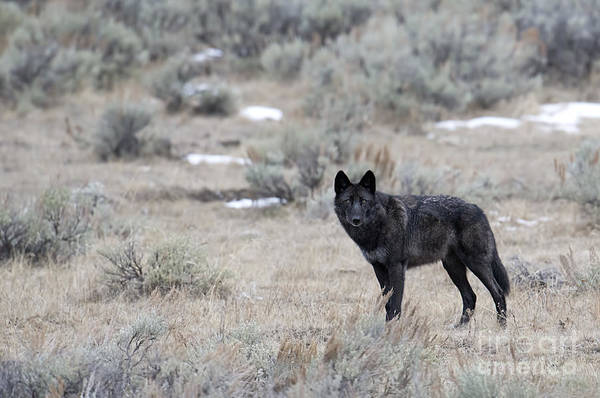 Dixon Photograph - The Black Wolf by Deby Dixon