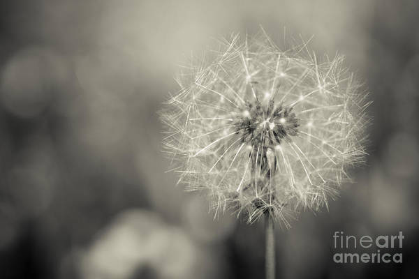 Photograph - The Blowball by Hannes Cmarits