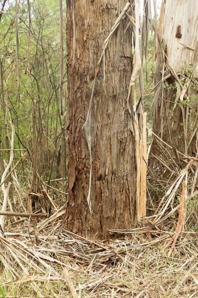 Eucalyptus Photograph - The Bole Of A Eucalyptus Viminalis Tree by Dr Jeremy Burgess/science Photo Library