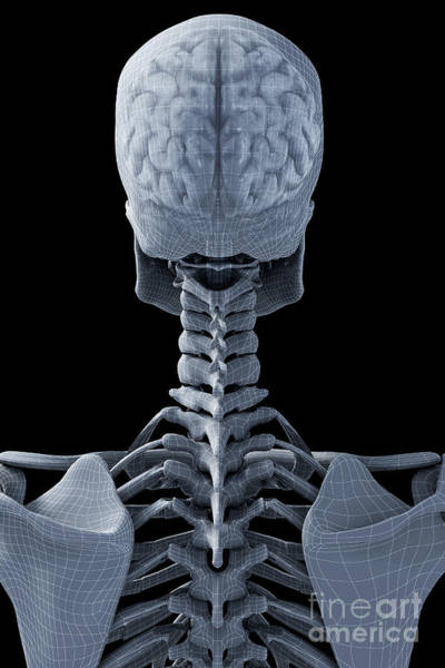 Photograph - The Brain Within The Skeleton by Science Picture Co