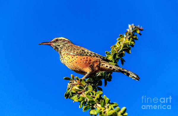 Wing Back Photograph - The Cactus Wren by Robert Bales