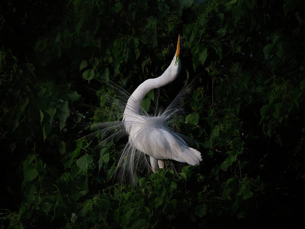 Egret Photograph - The Call by Phillip Chang