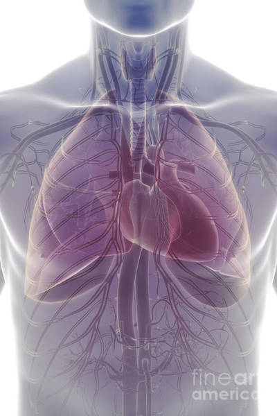 Photograph - The Cardiovascular And Respiratory by Science Picture Co