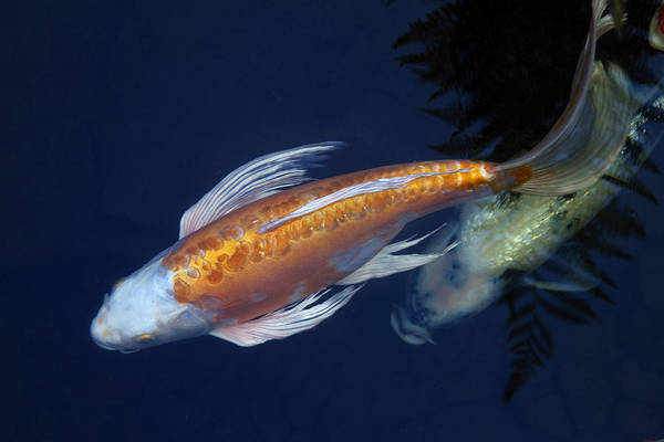 Koi Pond Photograph - The Chase by Rebecca Cozart