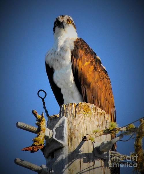 Fish Eagle Photograph - The Cheater by Quinn Sedam