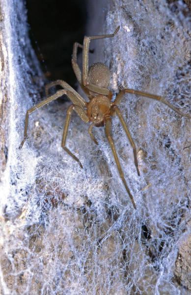 Arachnida Wall Art - Photograph - The Chilean Recluse (loxosceles Laeta by Andres Morya Hinojosa