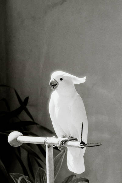 Photograph - The Cockatoo by Shaun Higson