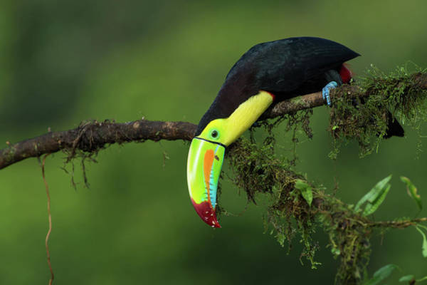 Beak Photograph - The Colors Of Costa Rica by Fabio Ferretto