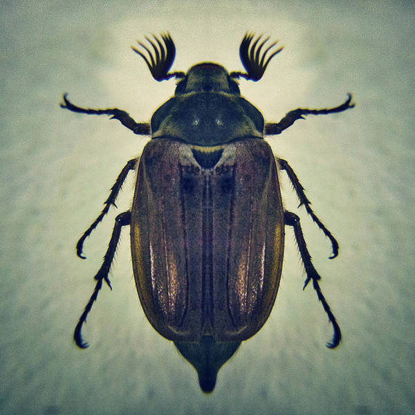 June Photograph - The Common Cockchafer Beetle by Con Ryan