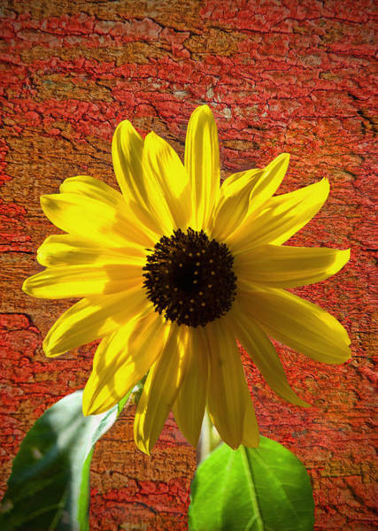 Sunflower Seeds Photograph - The Contrast Of Time by Sandi OReilly