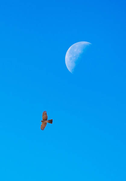 Photograph - The Cooper's Hawk And The Moon by Onyonet  Photo Studios