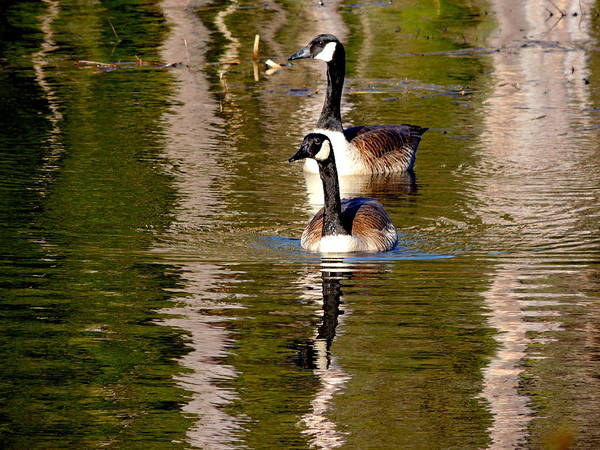 Duck Meat Photograph - The Couple by Mim White