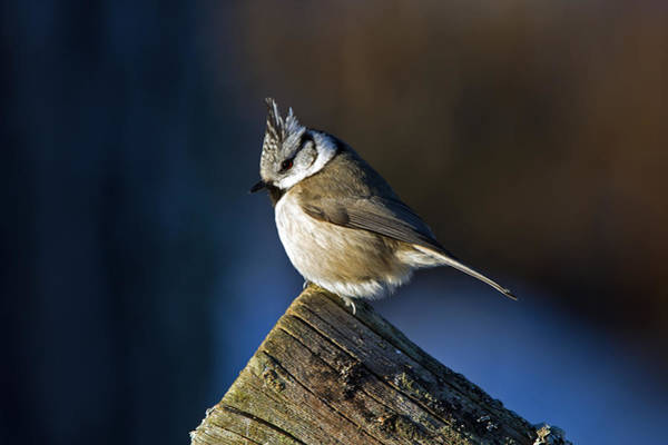 Tit Photograph - The Crested Tit In The Sun by Torbjorn Swenelius