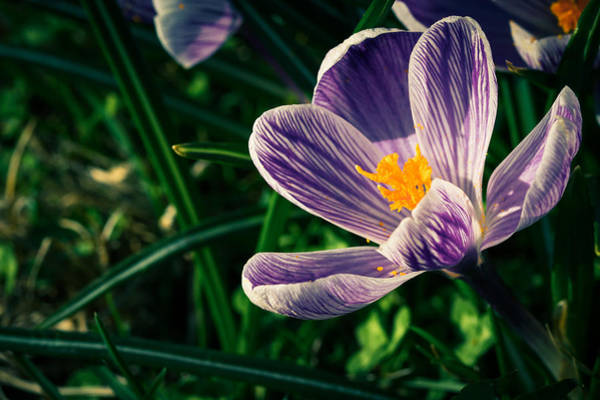 Photograph - The Crocus by Andreas Levi