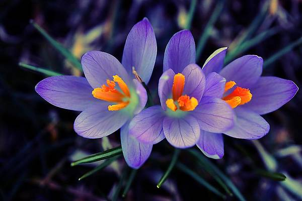 Photograph - The Crocus Trio by Beth Akerman
