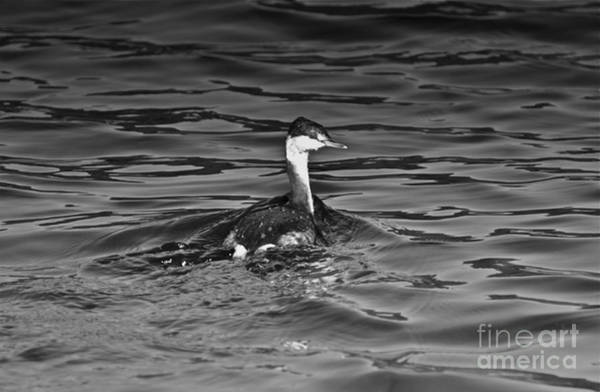 The Curious Grebe Art Print