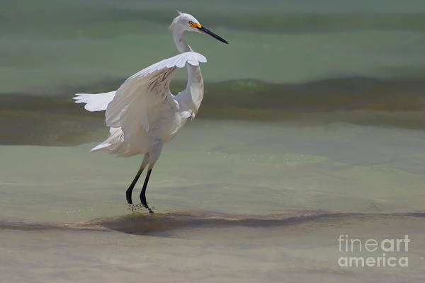 Egrets Wall Art - Photograph - The Dance by John Edwards
