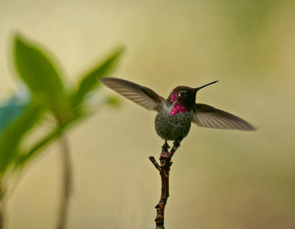 Photograph - The Dancing Hummingbird by Lara Ellis