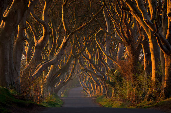 Ceiling Photograph - The Dark Hedges In The Morning Sunshine by Piotr Galus