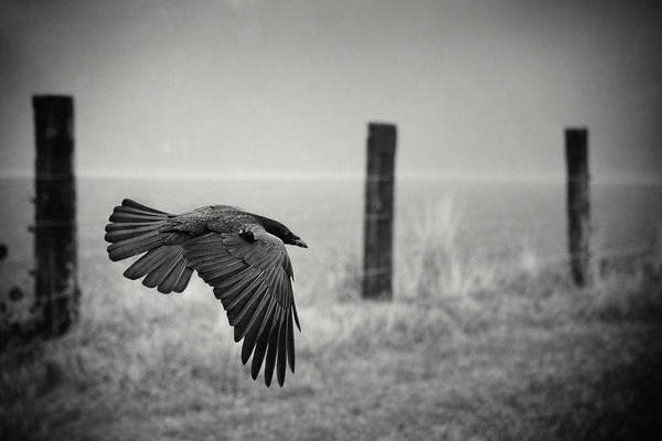 Flying Bird Photograph - The Day Of The Raven by Holger Droste