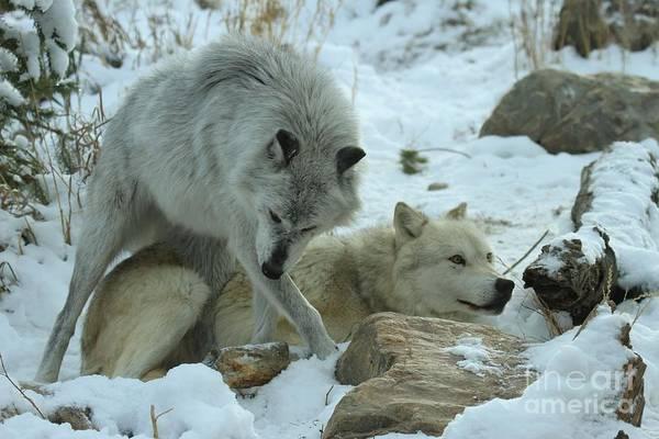 Alpha Wolf Wall Art - Photograph - The Dominatrix by Adam Jewell