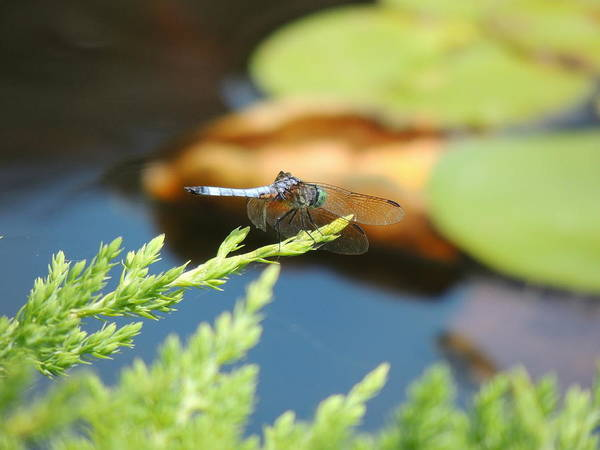 Photograph - The Dragonfly by Kimberly Perry