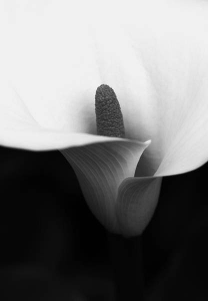Calla Photograph - The Duality Of Nature  by Connie Handscomb