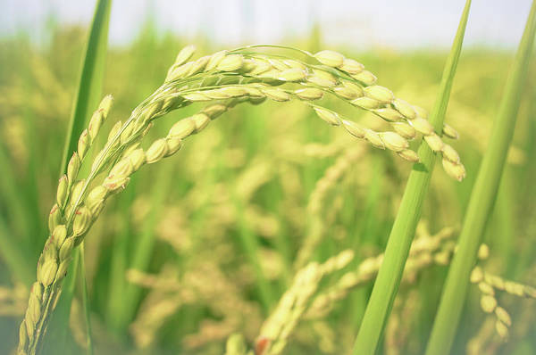 Photograph - The Ear Of Rice by Scott Lin