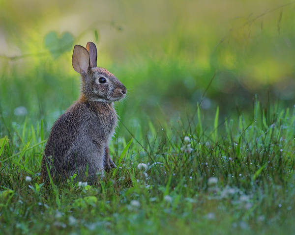 Photograph - The Eastern Cottontail by Bill Wakeley