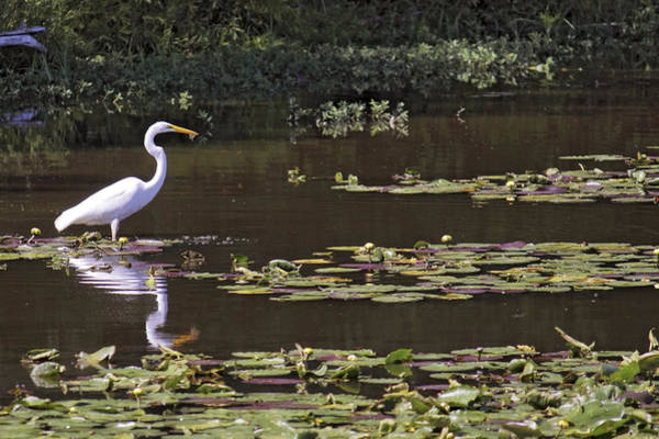 Photograph - The Egret Hunter by Jason Politte