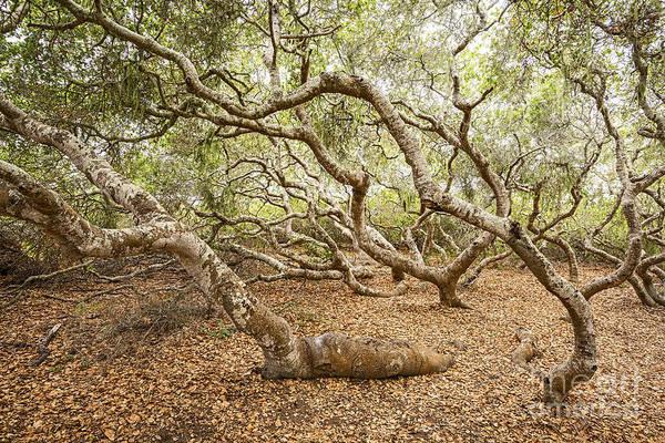 Coast Live Oak Photograph - The Elfin Forest  by Jamie Pham