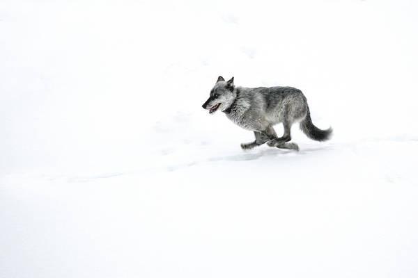 Alpha Wolf Wall Art - Photograph - The Escape by Sandy Sisti