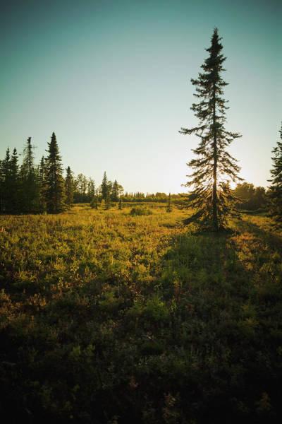 Spruce Photograph - The Evening Sun Behind A Black Spruce by Joel Koop / Design Pics