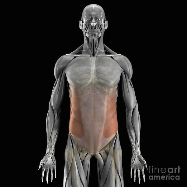 External Abdominal Oblique Photograph - The External Oblique Muscles by Science Picture Co
