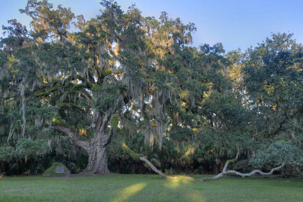 Photograph - The Fairchild Oak by Bradford Martin