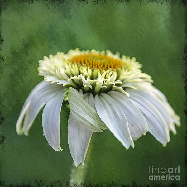 Photograph - The First Coneflower by Terry Rowe
