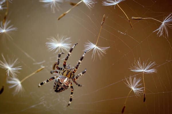 Web Wall Art - Photograph - The Flies Are Finished. Only Dandelions Salad Left. by Dmitry Skvortsov