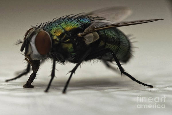 Nikon Wall Art - Photograph - The Fly Macro by Michael Ver Sprill