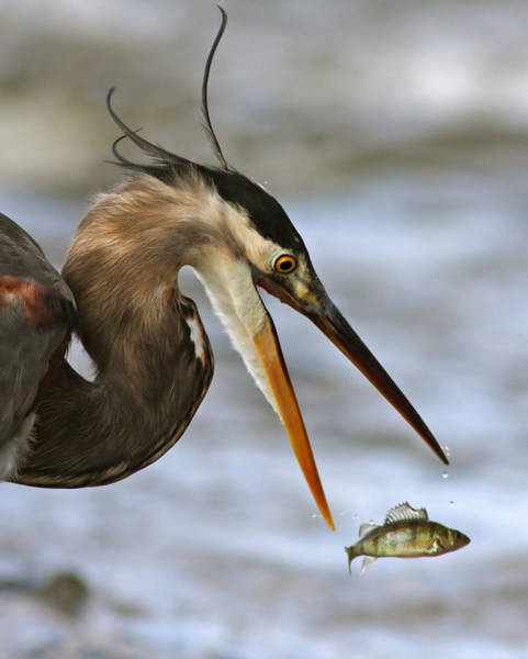 Little Blue Heron Photograph - The Flying Fish by Mircea Costina Photography