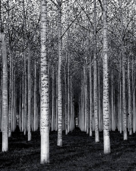 Birch Photograph - The Forest For The Trees by David Scarbrough