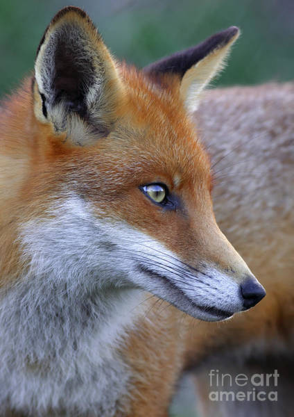 Photograph - The Fox by Martyn Arnold