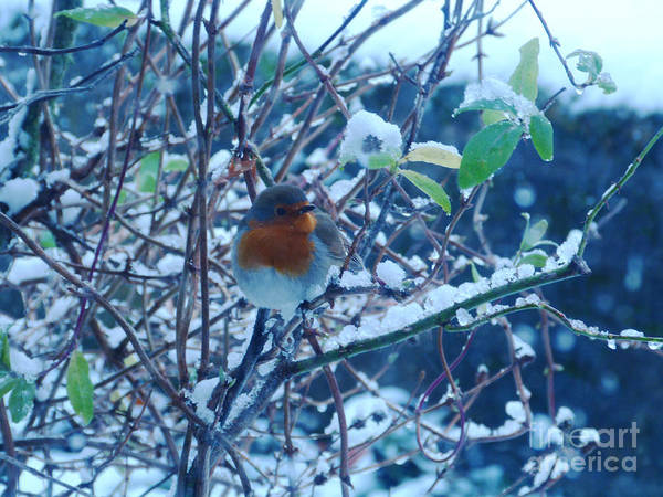 Photograph - The Friendly Robin by Phil Banks