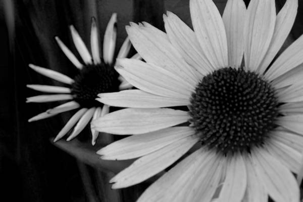 Photograph - The General Cone Flower Black And White by Lesa Fine
