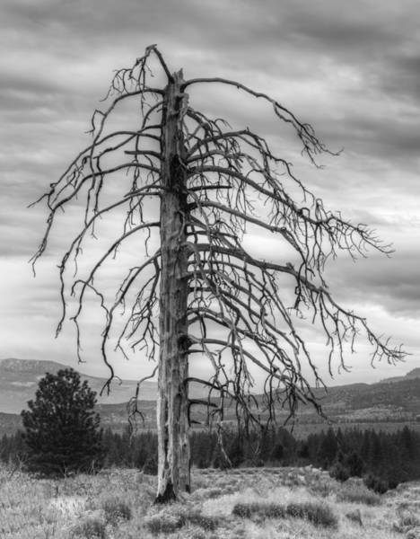 Photograph - The Ghost Tree by Loree Johnson