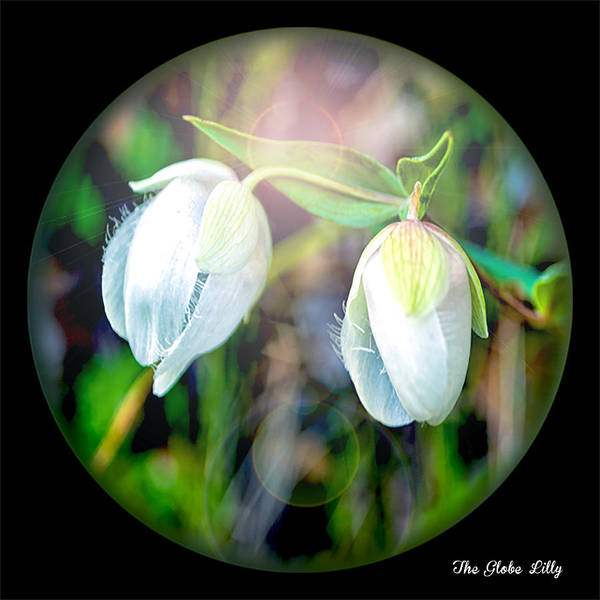 Photograph - The Globe Lilly Under Glass by William Havle