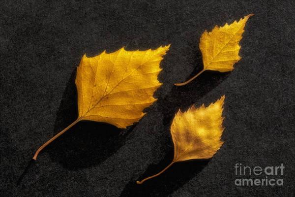 Birch Photograph - The Golden Leaves by Veikko Suikkanen