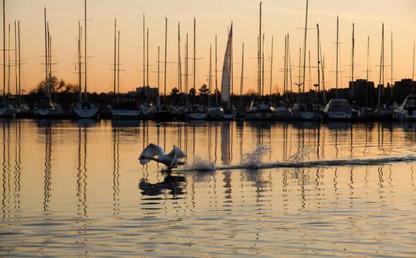 Wildbird Photograph - The Golden Takeoff - Swan Sunset And Yachts At A Marina In Toronto Canada by Georgia Mizuleva